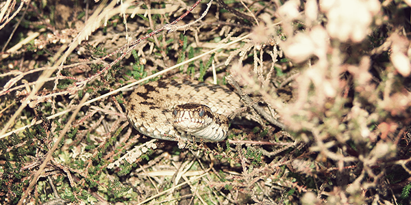 An adder in the New Forest, photo by Pete Carpenter