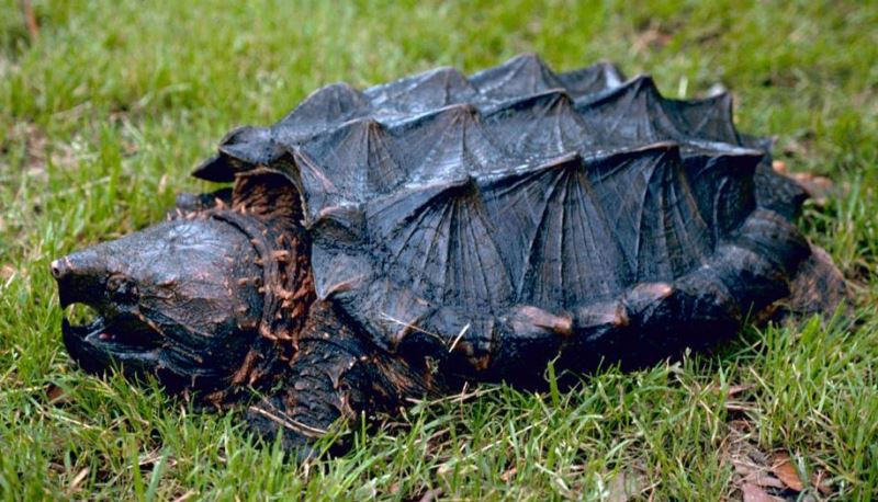 Alligator snapping turtle by Gary M Stolz - US Fish and Wildlife Service