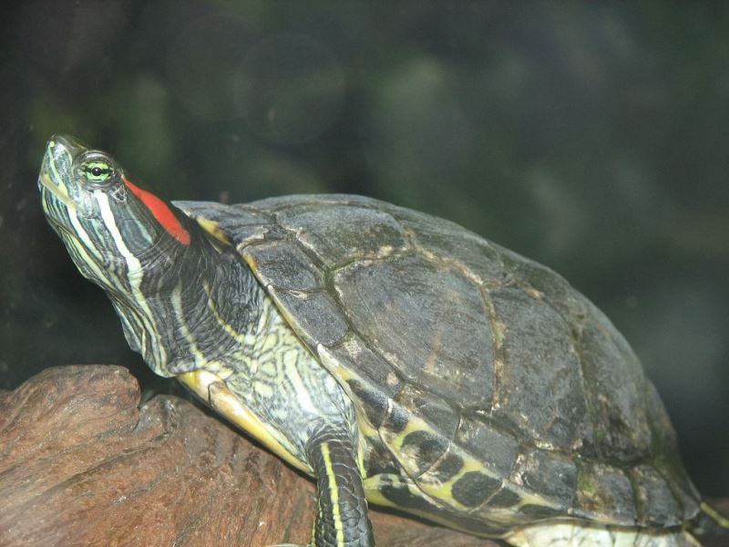 Red eared slider (terrapin) by Trisha M Shears