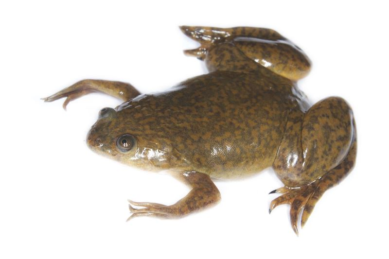 African clawed frog by Brian Gratwickea (Creative Commons)