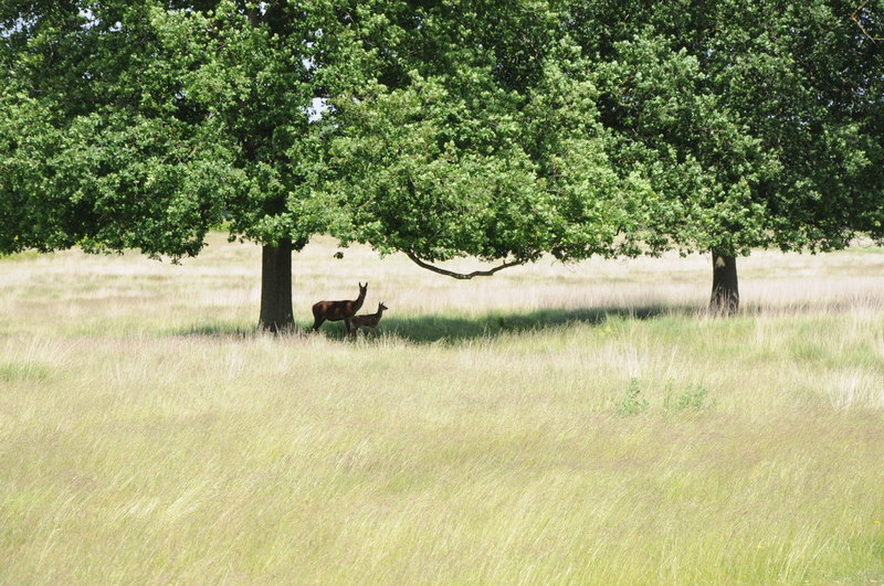 Deer and fawn, Richmond Park - © Philip Halling via Geograph (Creative Commons)